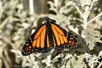 TINY MONARCH FLEW TODAY - JULIE'S BUTTERFLIES