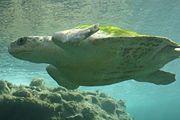 Tartaruga-cabeçuda Chelonia mydas (Linnaeus, 1758) - Tartaruga-verde