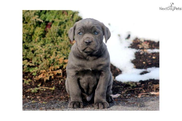 Blue Cane Corso Mastiff | Lex - Cane Corso Male | Blue Male Cane Corso, Mastiff For Sale in ...