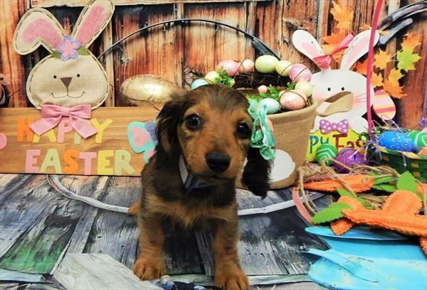 Dachshund puppy for sale in CHICAGO, IL. ADN-54520 on PuppyFinder.com Gender: Male. Age: 10 Weeks Old