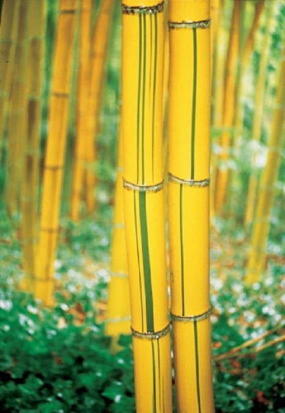 100 Bamboo Seeds -Yellow_ Bamboo_ Plants Fesh Fargesia_Fungosa_Hardy_Clumping