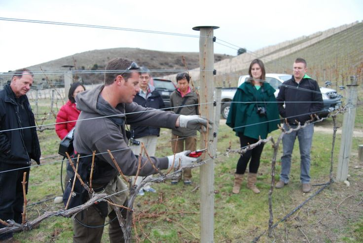 Rich, Vineyard Manager, Misha's Vineyard gives an impromptu pruning demo to some trade visitors inc a group of keen wine collectors from Singapore, and Andy, a sommelier from one of Auckland's top restaurants, The French Café. - See more at: http://www.mishasvineyard.com/blog/the-long-winding-track-to-mishas-vineyard/#sthash.Gm0ZBduA.dpuf