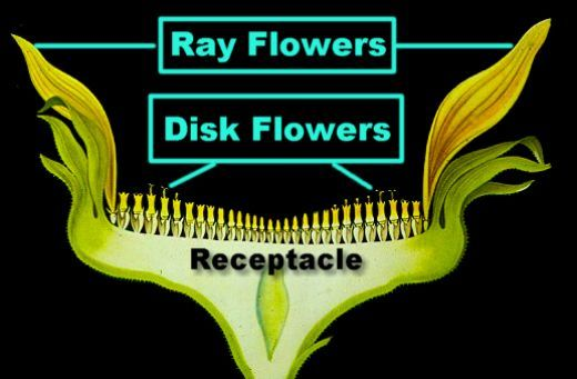 Detailed Labeled Diagram Of Sunflower