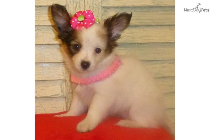 Meet SUGAR a cute Papillon puppy for sale for $800. GORGEOUS PAPILLON FEMALE PUPPY see her on my website www.tejastlittlecutiechihuahuas.com