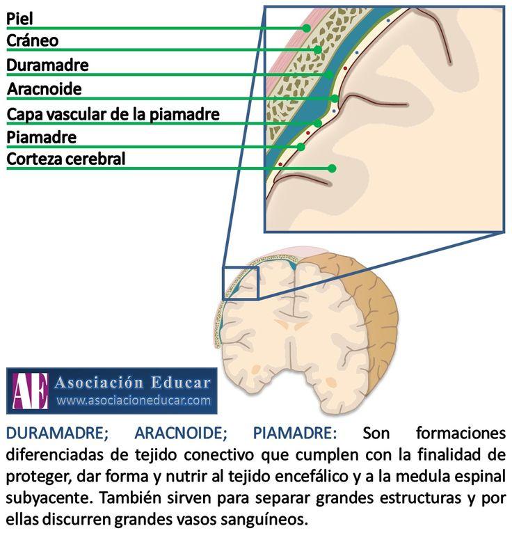 Infografía Neurociencias: Duramadre; Aracnoide; Piamadre.   Asociación Educar