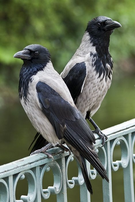 """ Eurasian Hooded Crow (Corvus cornix). Also known as the Hoodiecrow, Scotch Crow, Danish Crow, and Corbie or Grey Crow in Ireland; Brân Lwyd in Welsh. """