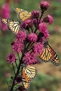 Gardens which attract butterflies and hummingbirds.  // Great Gardens & Ideas //