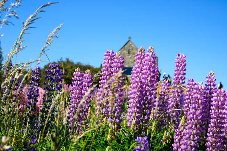 Lupinus - Lupinus at Lake Takepo, new Zealand the famnous Church of the Good Shepherd in back