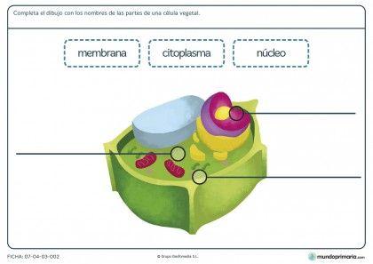 Ficha de partes de la célula vegetal para primaria