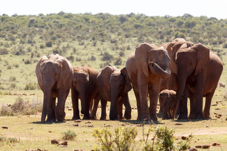 Elephant Tribe With Baby Addo Elephant National Park is a diverse wildlife conservation park situated close to Port Elizabeth in South Africa and is one of the country's 19 national parks.