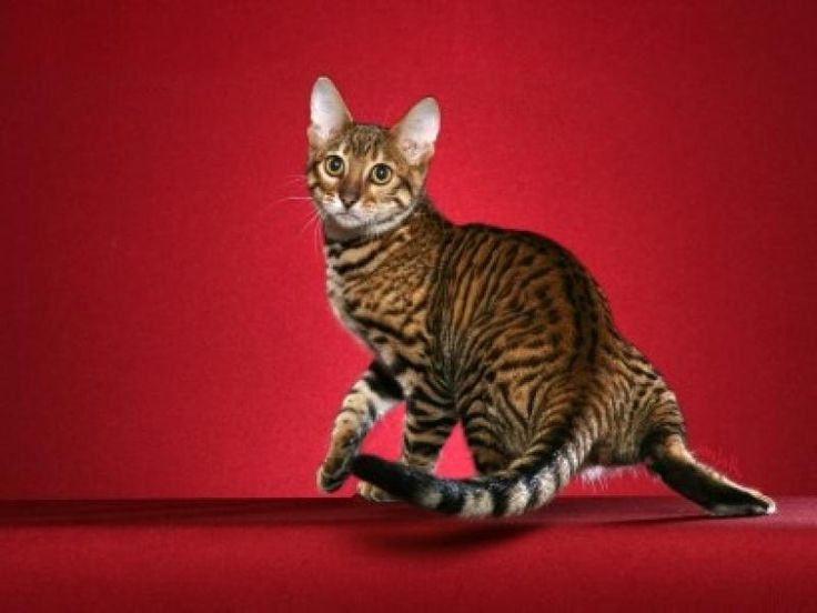 Тойгер – это порода домашних «игрушечных тигров». Тойгеры имеют крупные размеры, а вес составляет 3,5-5 кг для кошек и 5-7,5 кг для котов. Широкая кость, высокие плечи и мускулистое телосложение придают тойгеру вид настоящего дикого кота.