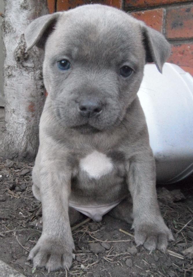 Blue staff pup. He's so cute! Gray with those blue eyes, so sweet!