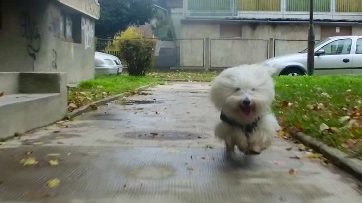Happy Coton de Tulear puppy runs on wet sidewalk