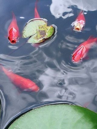 199 best tetra pond images on pinterest photo contest for Self sustaining garden with fish