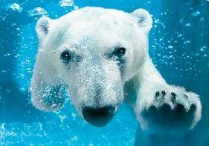 #1 San Diego Zoo - ADORABLE!!!: Essential Oil, San Diego Zoos,  Polar Bears, Polarbear,  Thalarcto Maritimus, Swimmers Ears,  Ursus Maritimus, Ice Bears, Icebear