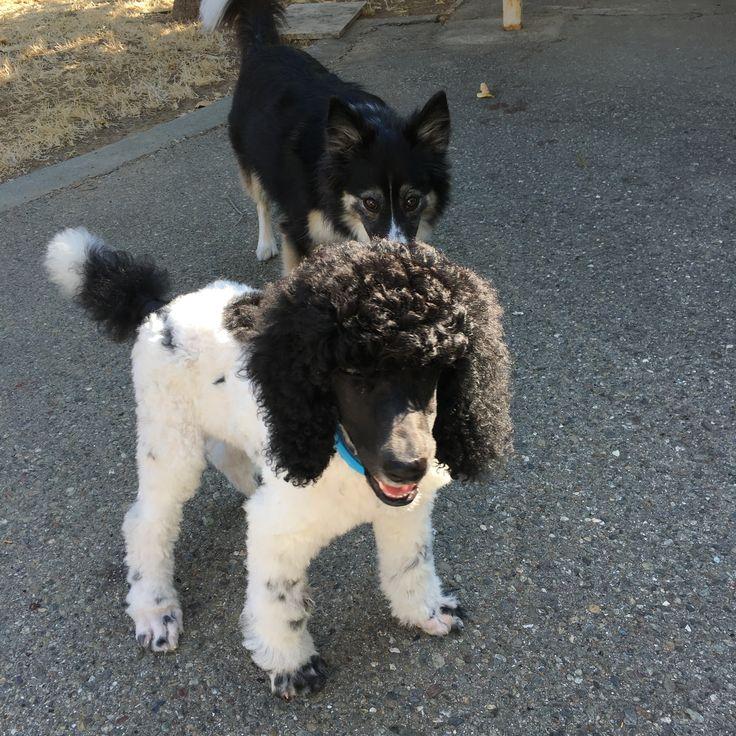 Border Collie Standard Poodle Mix