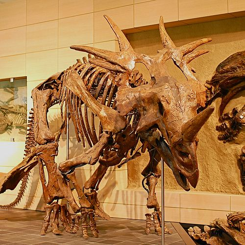 Horned dinosaurs come in extra-spiky. At the Canadian Museum of Nature's Talisman Energy Fossil Gallery.