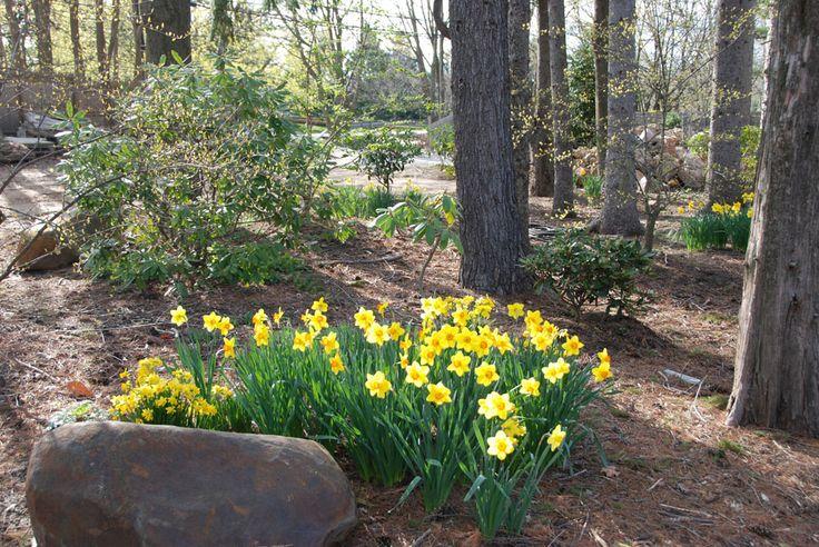 daffodils in a woodland garden