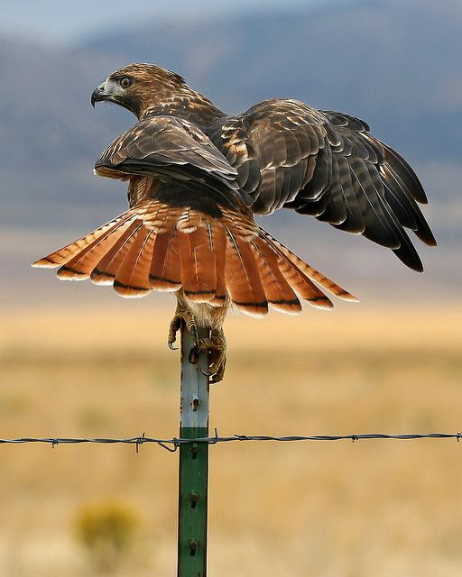 I love hawks! The red tail hawk is gorgeous, but not so much when he's after my chickens!