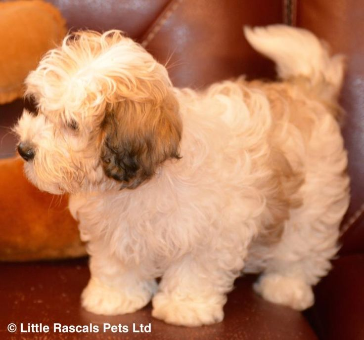 Gorgeous Cavapoochon little girl - Designer and Cross Breed Puppies For Sale