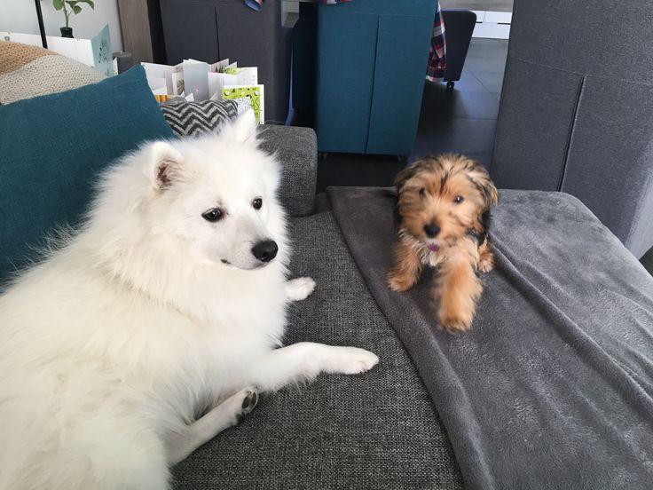 Met Ivy Japanse Spitz/spits #Dog