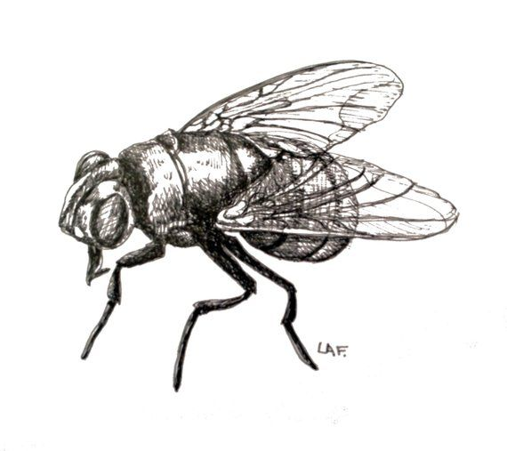 Insect Art Fly Art Fly Print Original Drawing Limited Edition