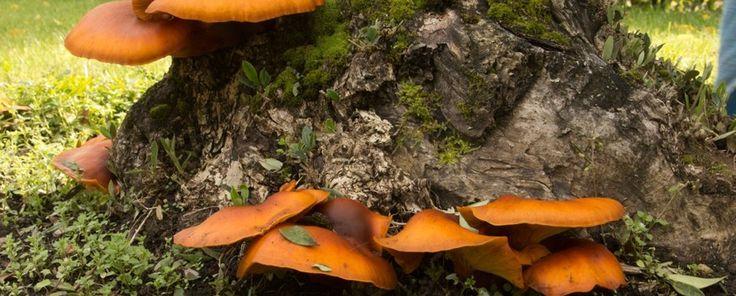 Nature Today   Nieuwe Lantaarnzwam vindt zijn weg naar Nederland