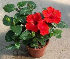 Trandafirul japonez. Conditii de ingrijire Apa si umiditate Atunci cand infloreste, trandafirul japonez necesita udari in fiecare zi. Vara, pentru a-si pastra...