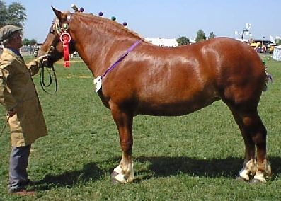 Suffolk Punch: England's oldest cold-blooded breed.