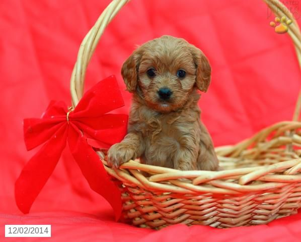 Cavapoo Puppy for Sale in Pennsylvania
