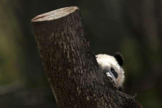 Chulina, la cría de oso panda gigante, ha salido este miércoles por primera vez al exterior en el Zo... - Daniel Ochoa de Olza