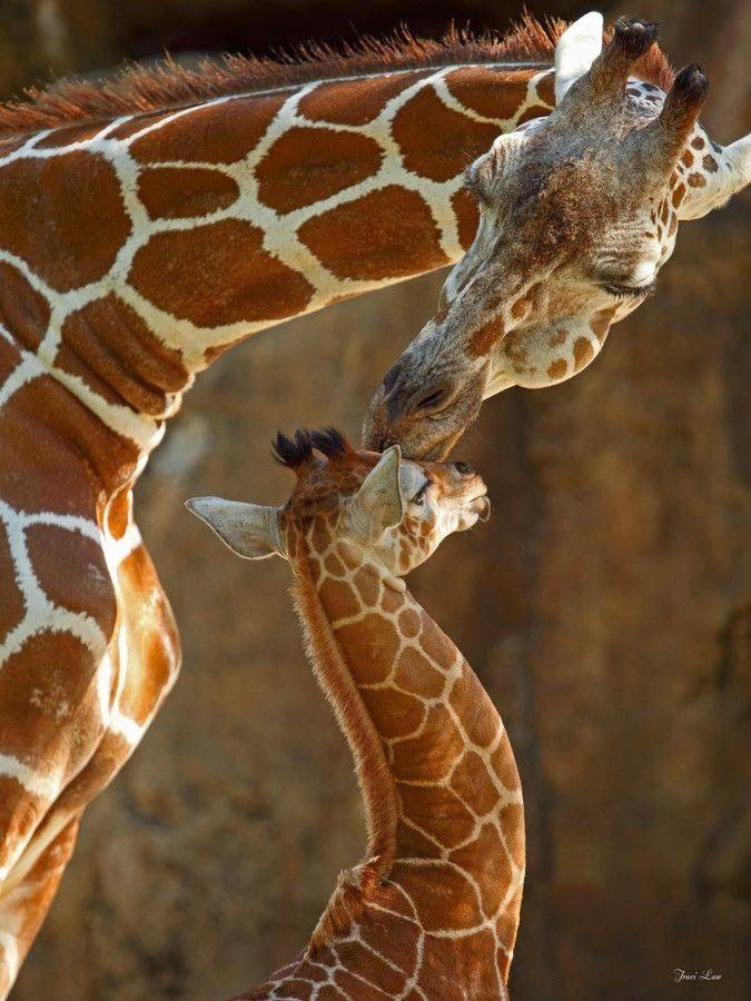 I want a baby giraffe