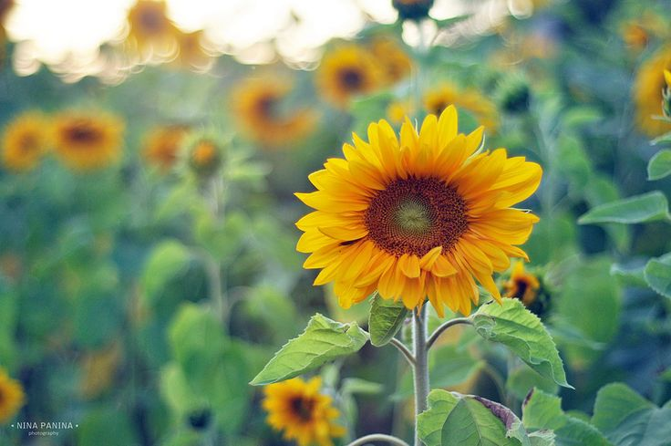 sunflower - -