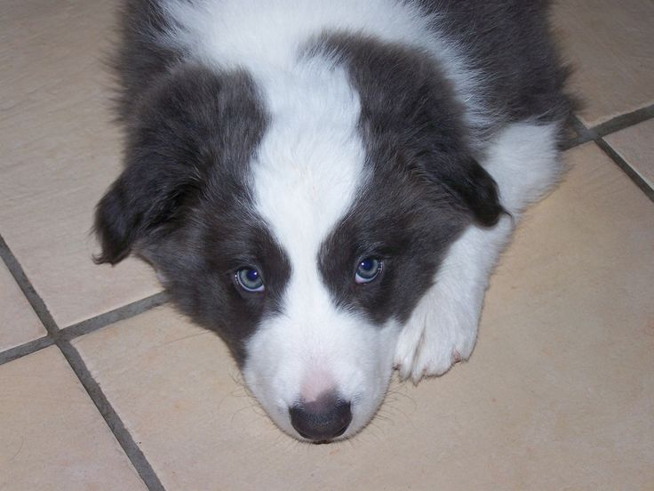 Border Collie Puppies | Border Collie Puppy Pictures