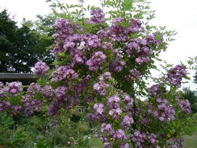 "Rosa 'Vielchenblau' ""Blue Rose"" -: Gardens Ideas, Free Rose, Gorgeous Gardens, Wishlist Gardens, Gardens Spaces, Veilchenblau Klätterros, Blue Roses"