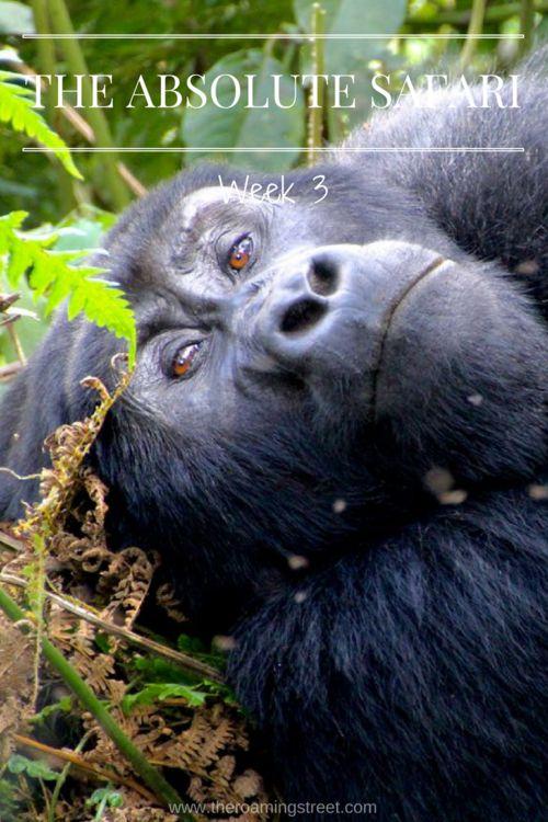 The Absolute Safari Week 3: Uganda, Rwanda and Tanzania — The Roaming Street