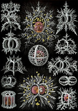 drawings protozoa - Google Search