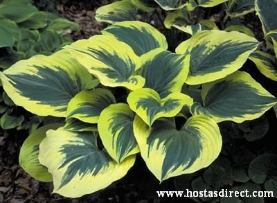 Landscaping hostas to create a wonderful hosta garden! This site has info. & advice on Hosta gardens and landscaping with Hostas. It includes a video that, once watched, leads to several other Hosta info videos.   Pictured is Hosta 'Liberty'  info. from HostasDirect.com  http://www.hostasdirect.com/hosta-info/landscaping-hosta-garden/