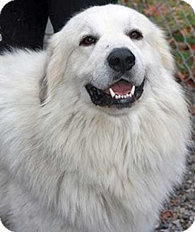 1/14/15 Beacon, NY - Great Pyrenees. Meet Zeus - new!, a dog for adoption. http://www.adoptapet.com/pet/12247773-beacon-new-york-great-pyrenees