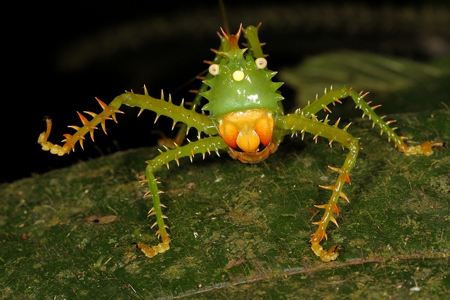 SPINY DEVIL KATYDID  Family: Tettigoniidae  Habitat: Central and South American Rainforest   Fun Fact: This 3-inch-long insect has been known to use its front legs to fight off predators as big as a monkey.