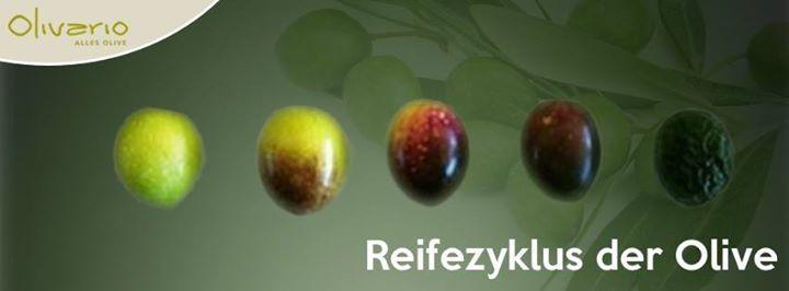 """Reifezyklus der Olive: Im Gegensatz zu Trauben (rot weiß) gibt es die Olive nur in einer """"Farbe"""". Erst durch die Reife wechselt die Olive ihre Farbe von grün (frühreif) zu dunkelviolett (vollreif). Die klassischen """"schwarzen"""" Oliven aus dem Supermarkt sind künstlich eingefärbt."""
