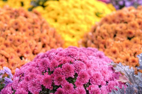 Pink,orange & yellow flowers at Waterloo Uptown Square, Ontario