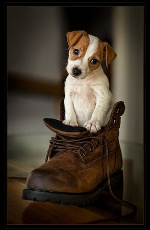 Jack Russell Puppy in a Boot - Award winning image by Bev Michel. Love this!!!!!