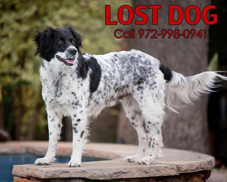 17 Best English Setter Mix Images On Pinterest English Setters Doggies And Dogs