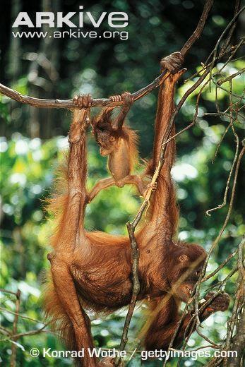Bornean orangutan female and infant hanging in tree - View amazing Bornean orangutan photos - Pongo pygmaeus - on ARKive