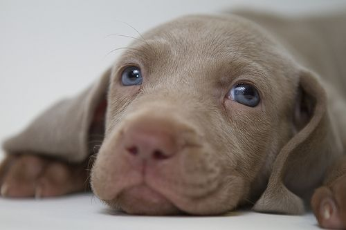 Weimaraner puppy 5 weeks old...my Cynder looked just like this...super pink in the nose and mouth area...awe...puppy breath!