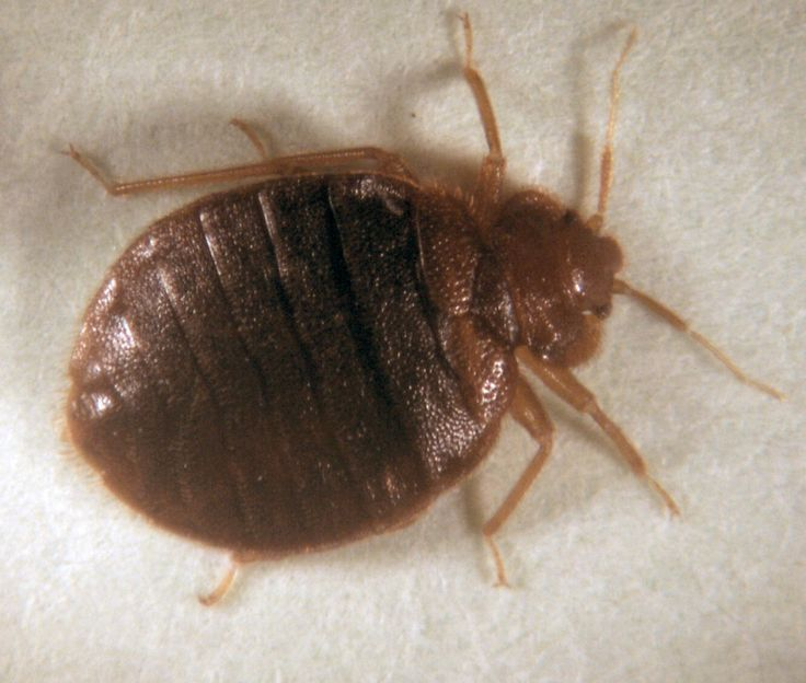 Types of Bugs with Pictures and Names  How to Prevent Bugs In House. 44 best Bed Bugs images on Pinterest   Bed bugs  3 4 beds and All
