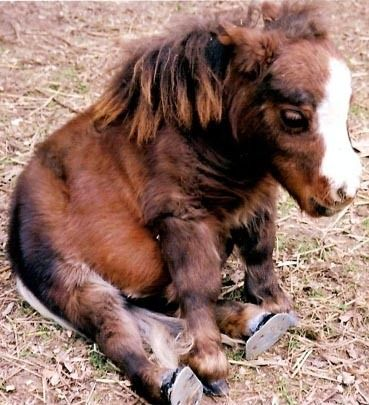 miniature horse - just sitting around