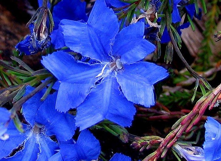 Blue Leschenaultia - Google'da Ara
