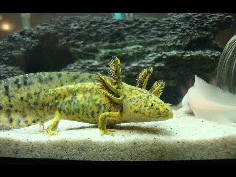 A Lot'l Axolotls - How to set up an Axolotl tank & care ...